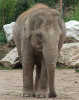 Elephant - Chester Zoo