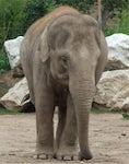Elephant - Chester Zoo
