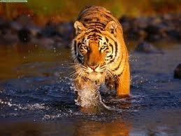 /l/c/k/Tiger.jpg