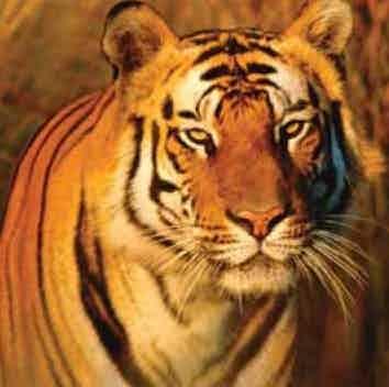 /m/p/u/mw_digital_tiger.jpg