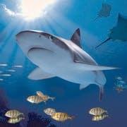 /a/b/k/Shark.jpg