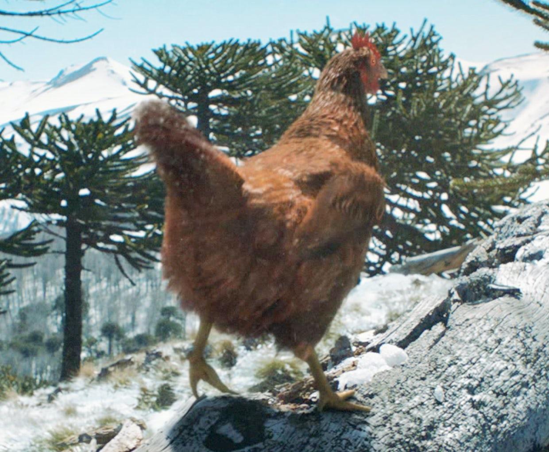 Chicken and turkey go beak-to-beak in KFC Christmas ad