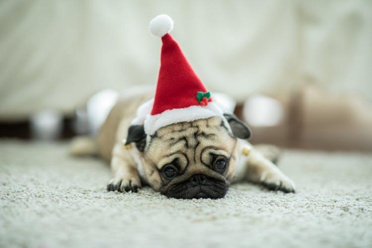 Sad Christmas pug
